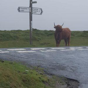 dartmoor cow