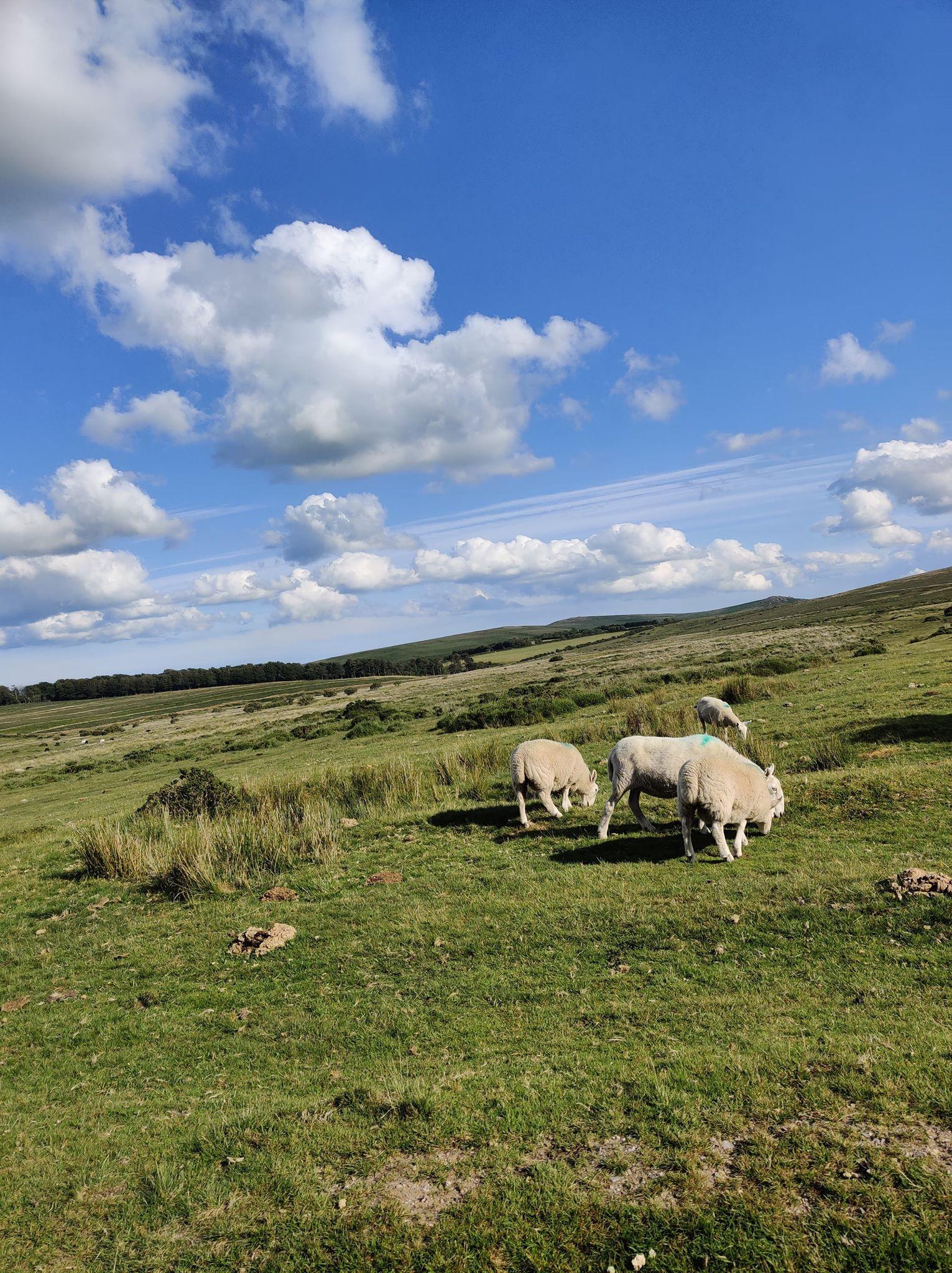 18 sheep