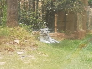 Wildlife Photography white tiger