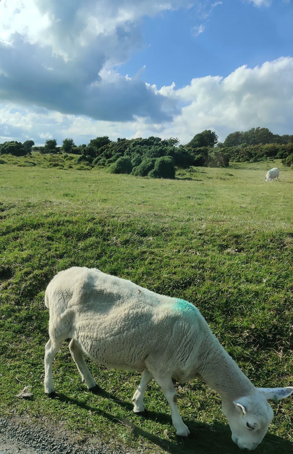 sheep 17